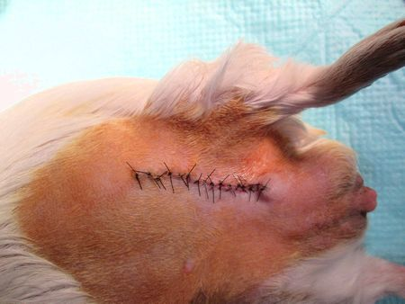 モルモット乳腺腫瘍1